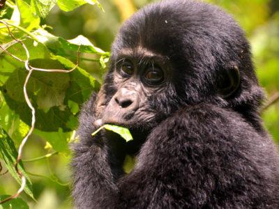 9-Young-Gorilla
