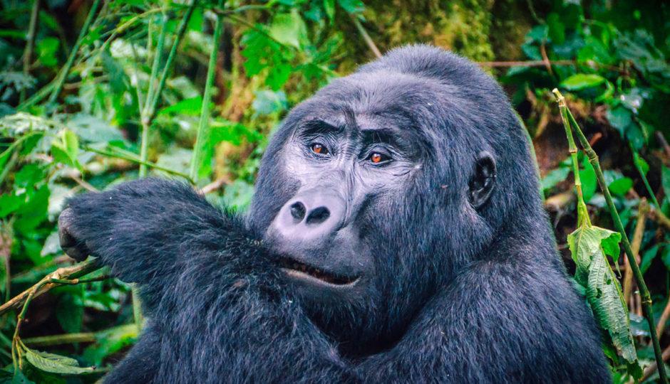 Tracking Gorillas in Uganda and Rwanda