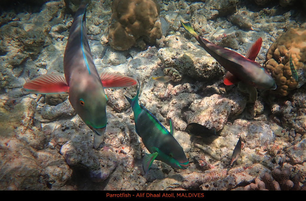 Parrotfishes in Alif Dhaal Atoll - Maldives