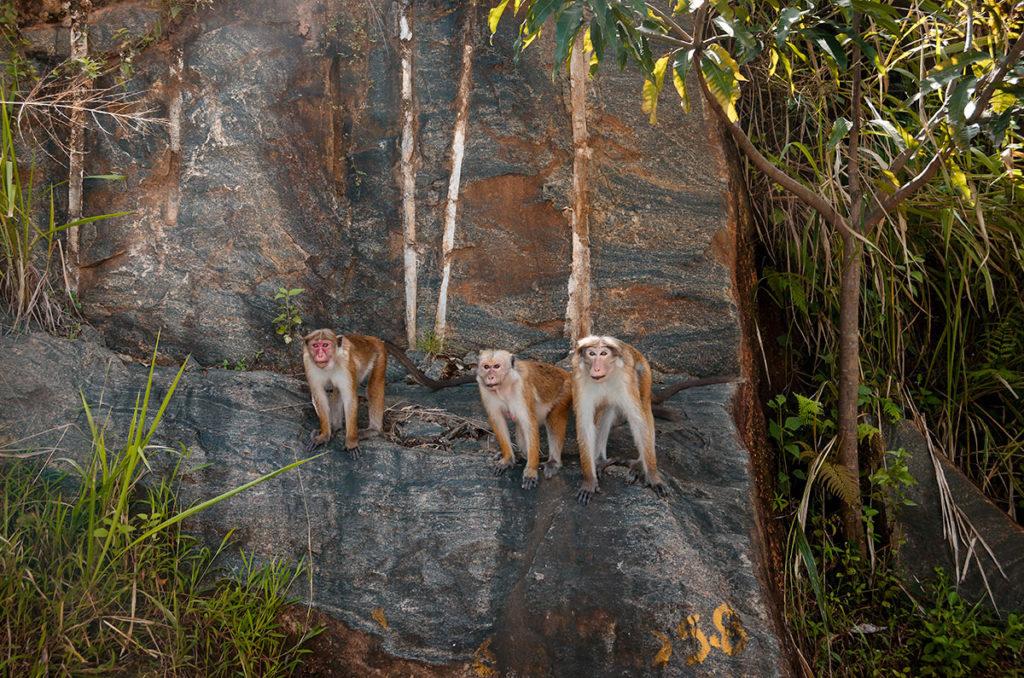 Three Macaque Monkeys - Sri Lanka