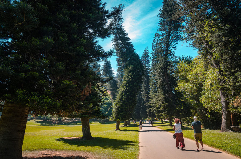 Bent pine trees by the road - Royal Botanical Gardens