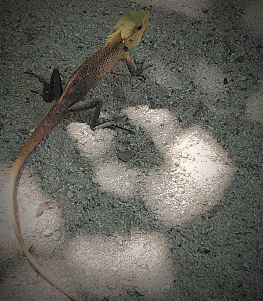 Gecko lizard on the sand - Vilamendhoo Island