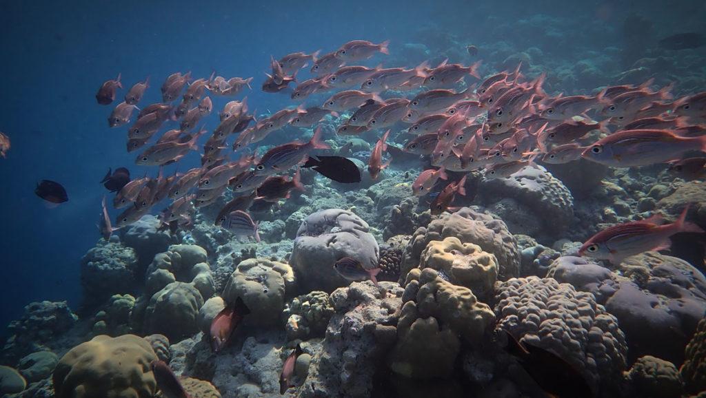 School of red fish - Vilamendhoo Lagoon