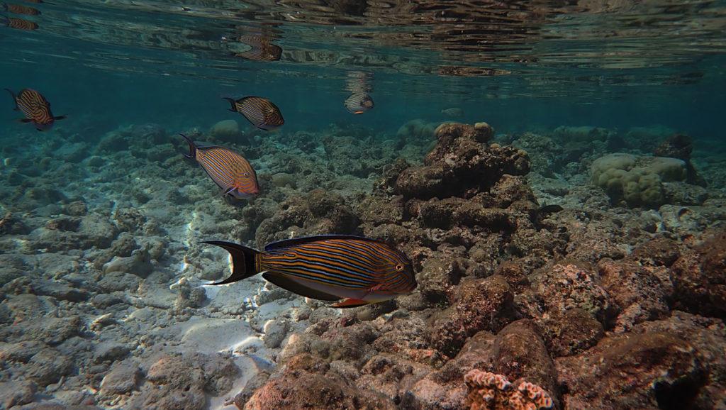 Stripped Parrotfish - Vilamendhoo Island