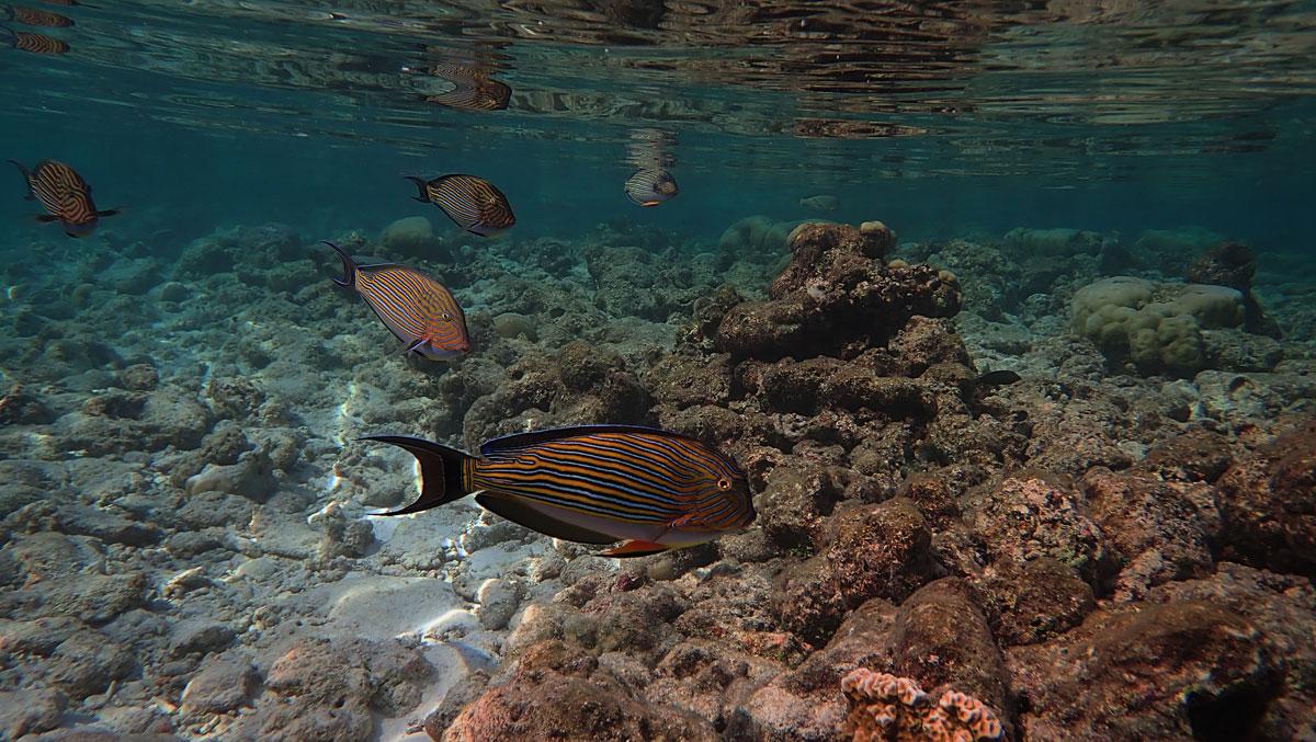 Blue Striped Fish - Vilamendhoo Lagoon