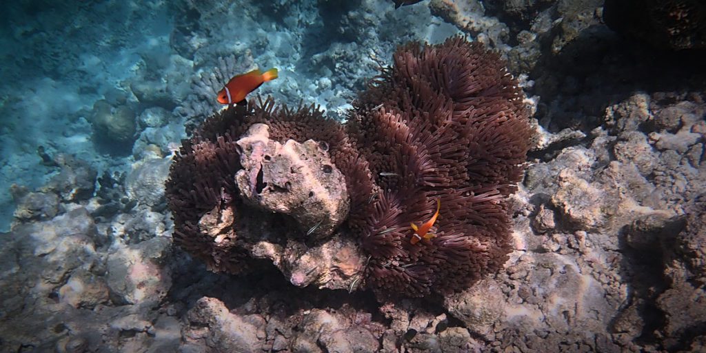 Two Clownfishes by a coral - Vilamendhoo Island