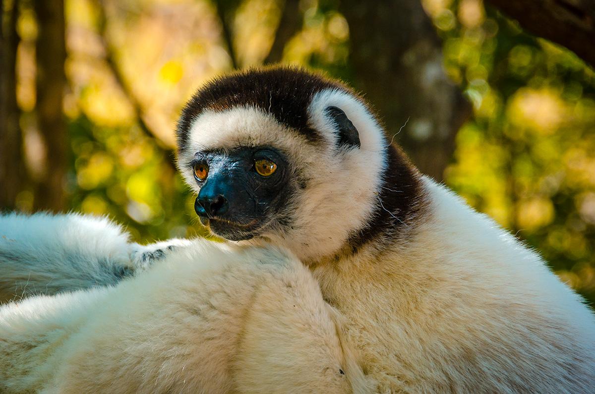1 White Lemur Face NYC_6735 – Alberto