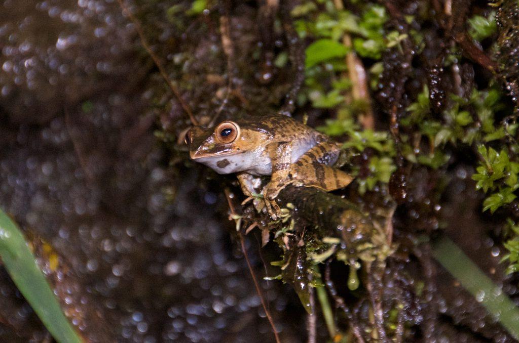 Ranomafana Frog