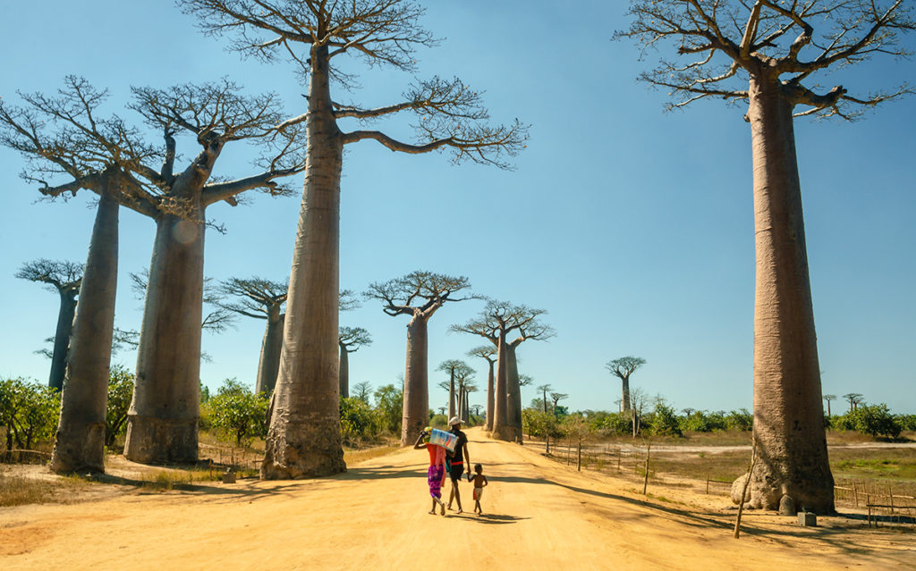 Avenue of the Baobabs Afternoon