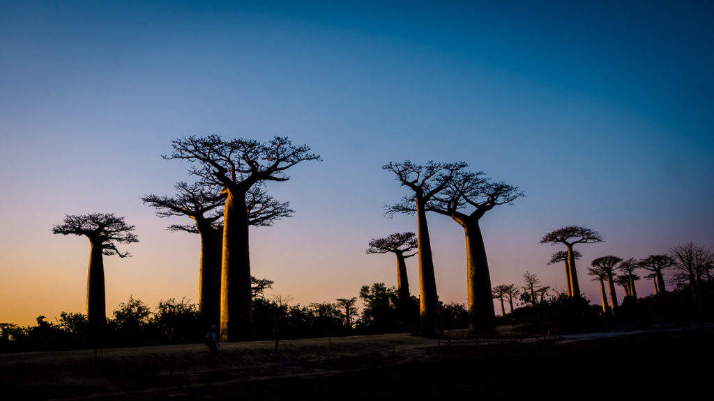 Avenue of the Baobabs Dusk