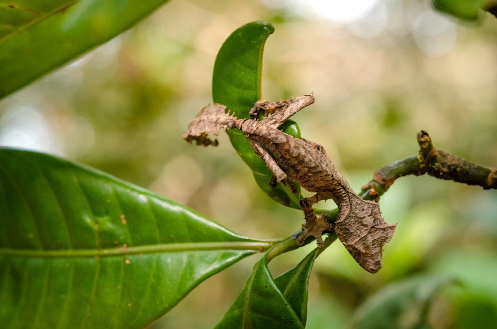 Ranomafana Dragon