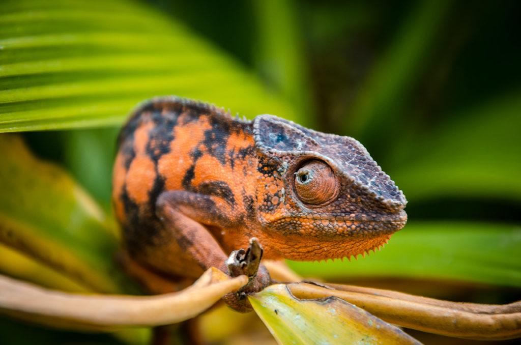 Peyrieras Chameleon Madagascar