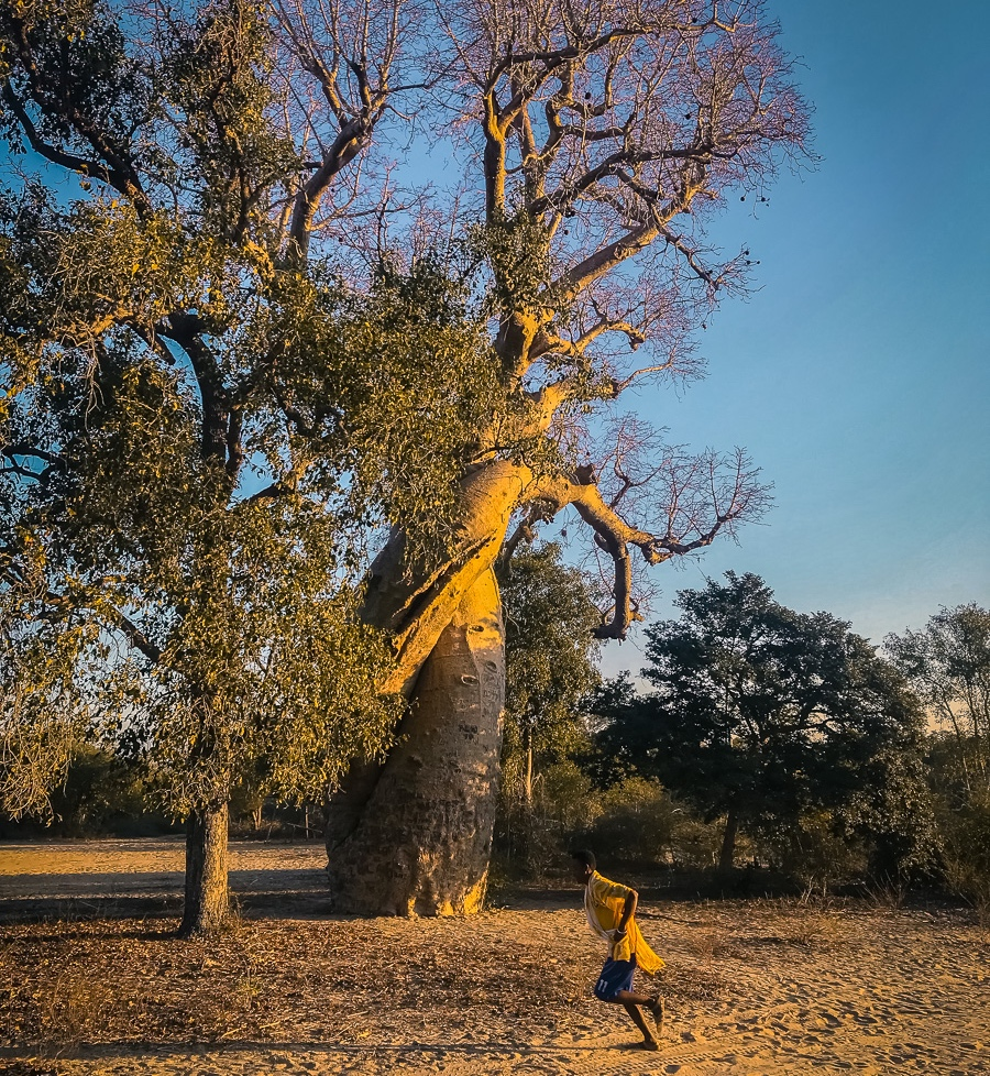 Twisted Baobab