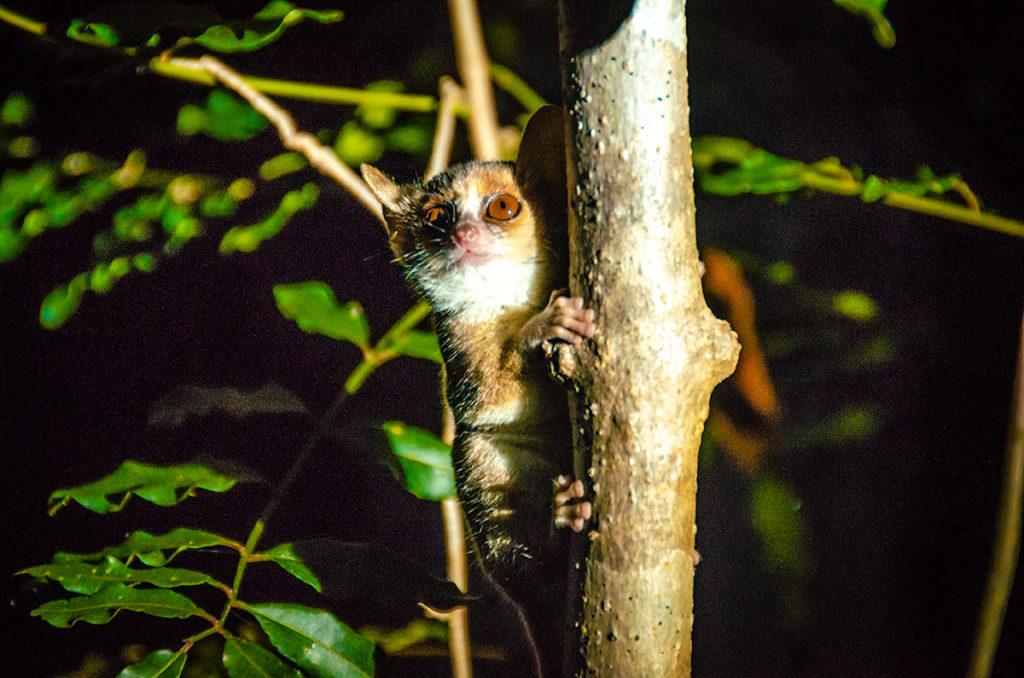 Kirindy Mouse Lemur