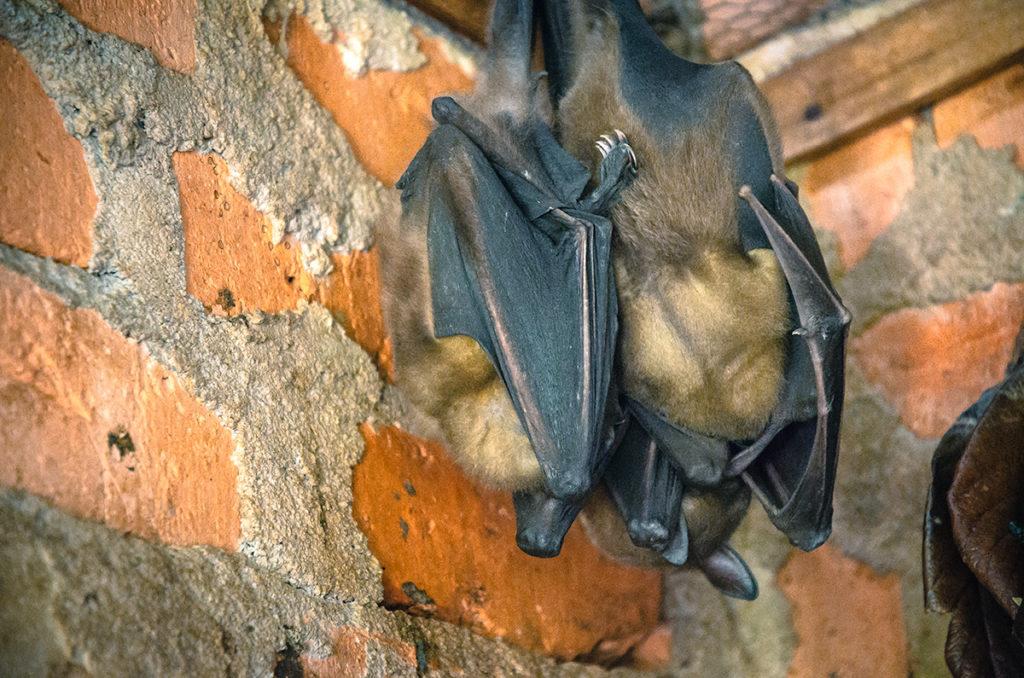 Peyrieras Bat Madagascar