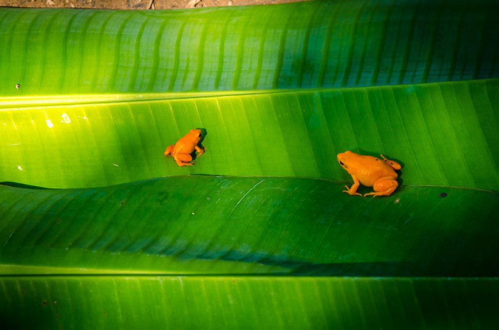 Peyrieras Orange Frogs Madagascar