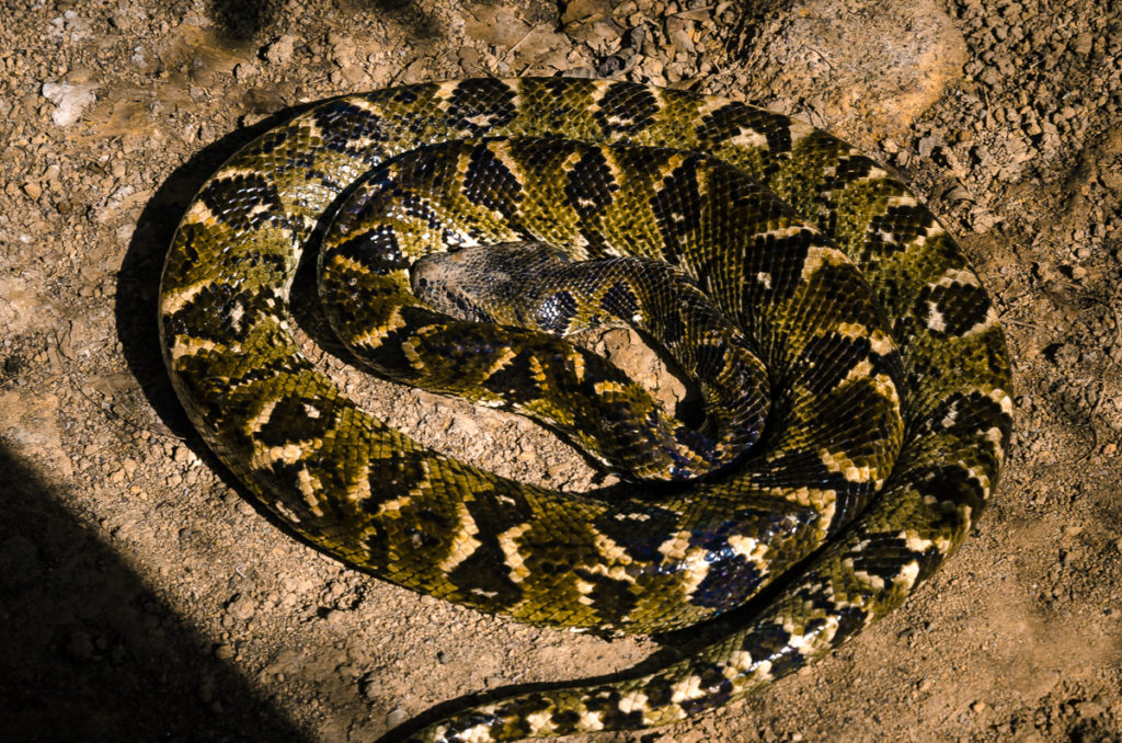Peyrieras Snake Madagascar