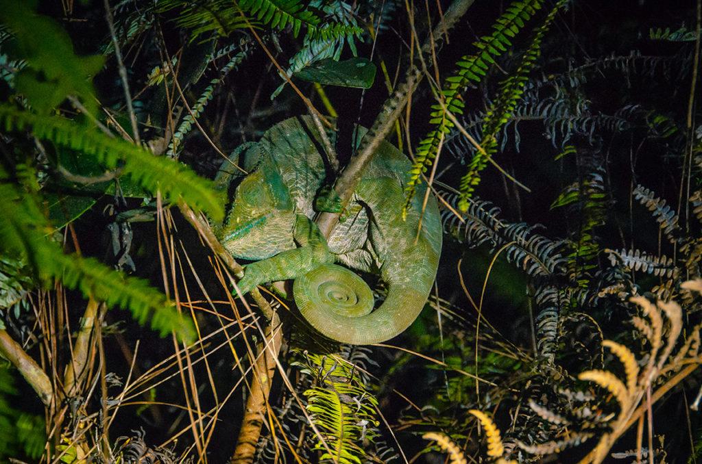 Andasibe Sleeping Chameleon Madagascar