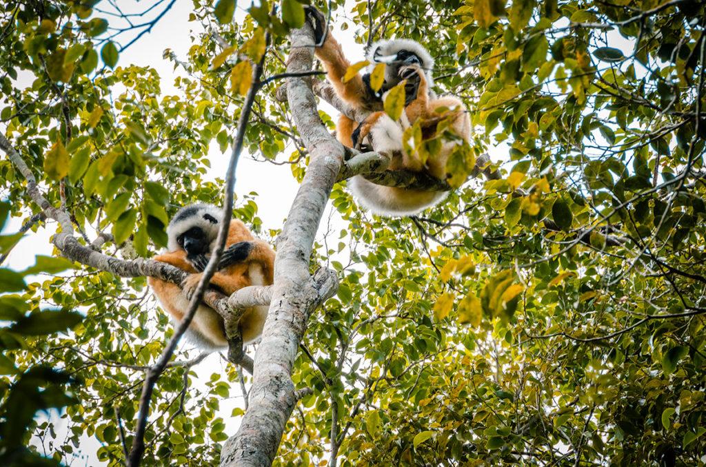 Indri Lemurs in Trees Andasibe Madagascar