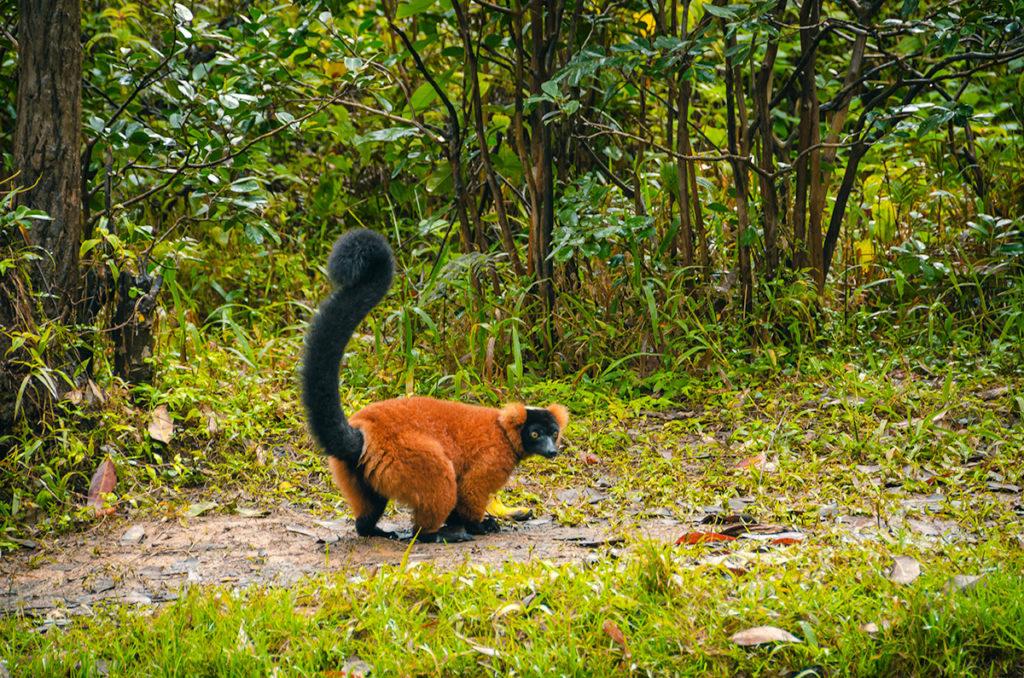 Red Lemur Madagascar