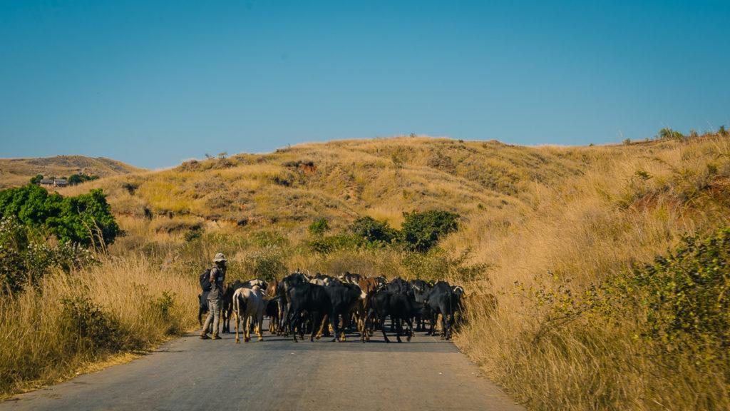 Zebu Herd
