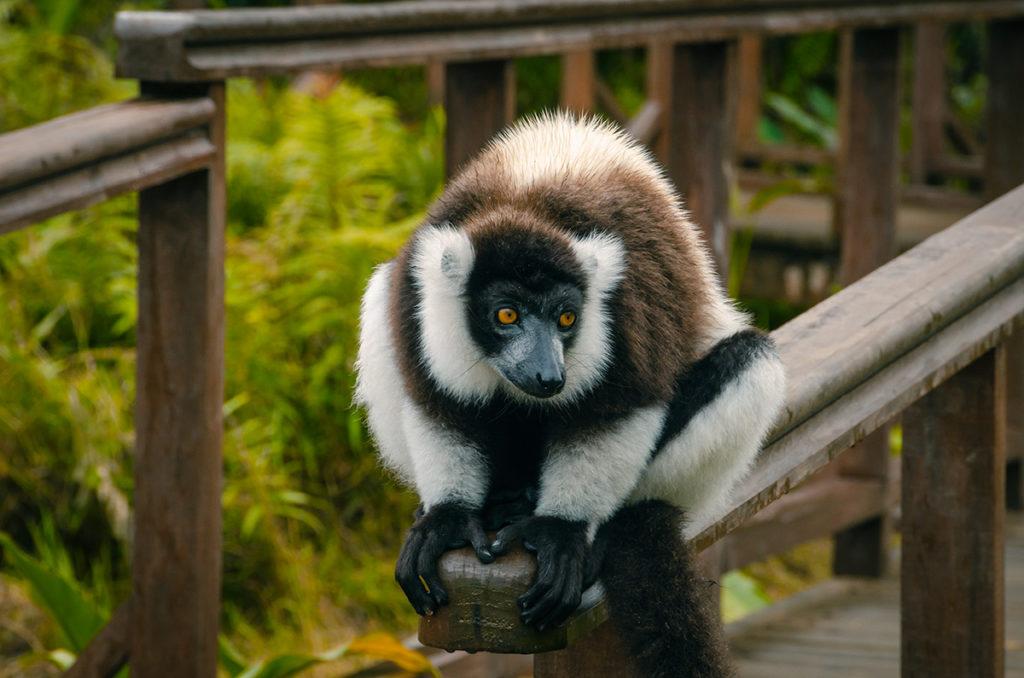 Black and White Ruffed Lemur Vakona Reserve Madagascar