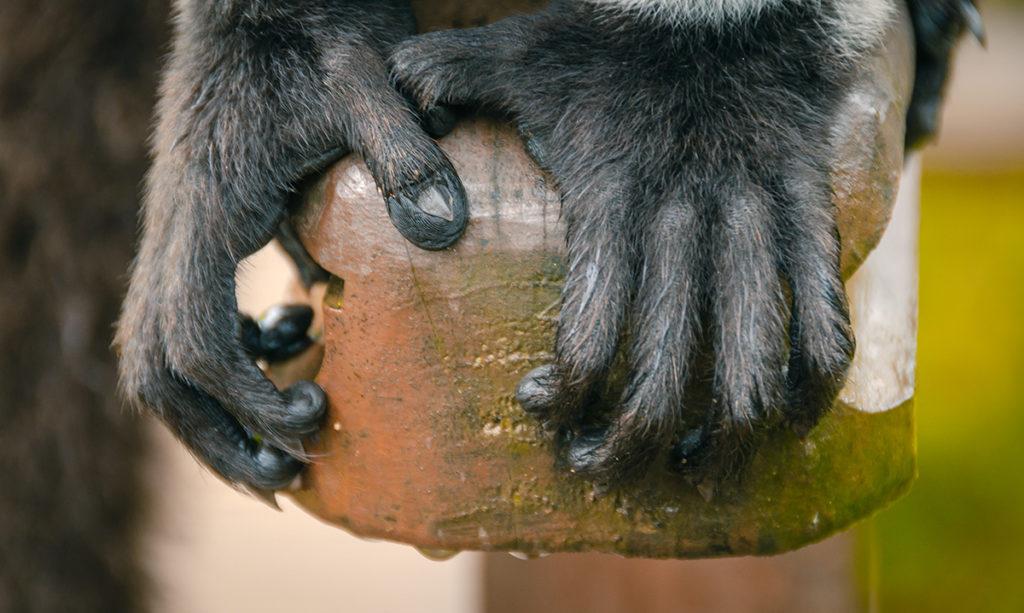 Lemur Hands Vakona Reserve Madagascar