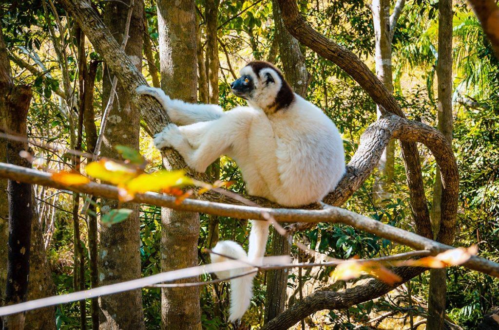 Isalo White Sifaka Lemur