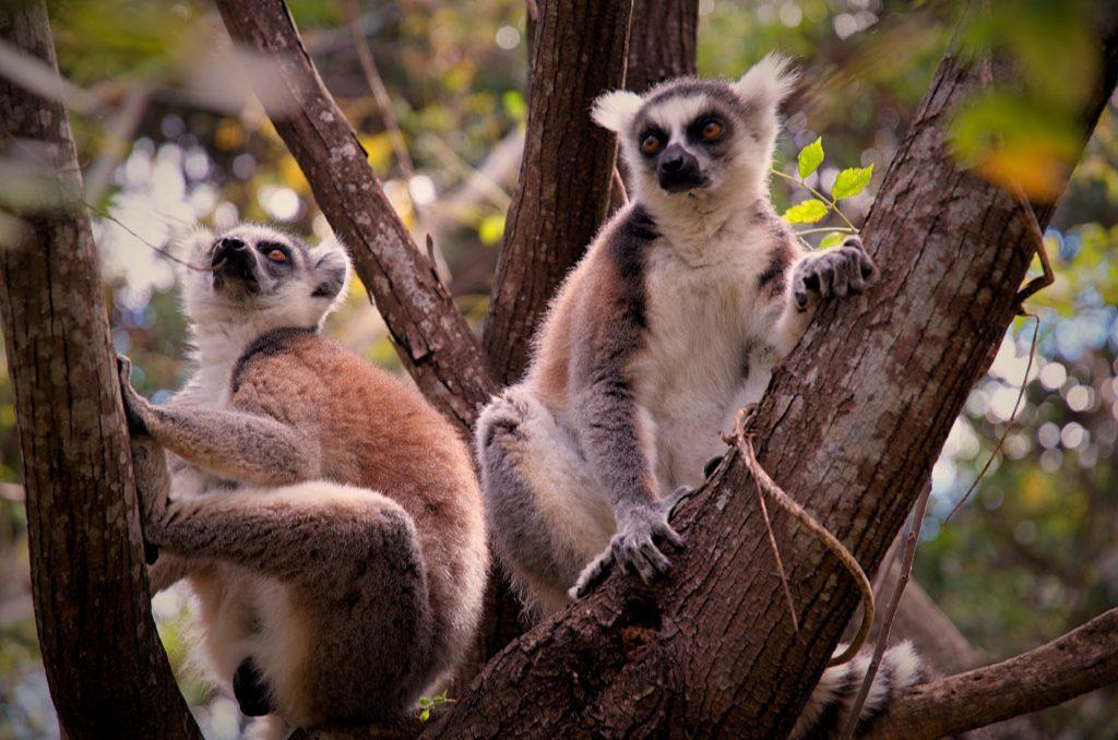 Two Lemurs in Madagascar