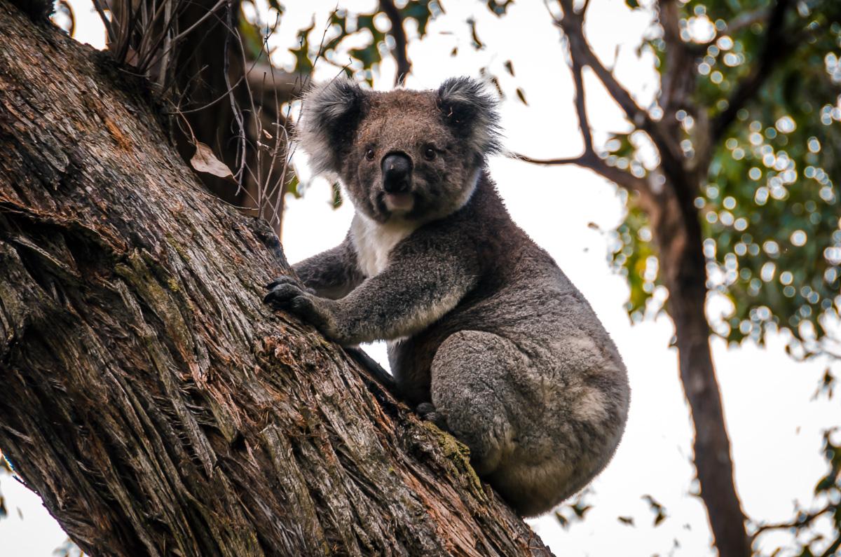 Great Ocean Walk Koala
