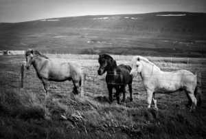 Three horses behind a wired fence of a field in Iceland