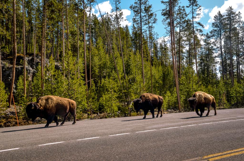 Buffalos in Yellowstone National Park