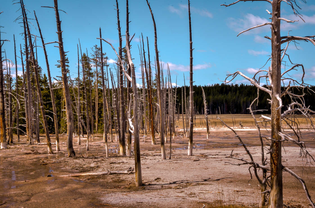 Lodgepole Pine Trees - Fountain Paint Pots