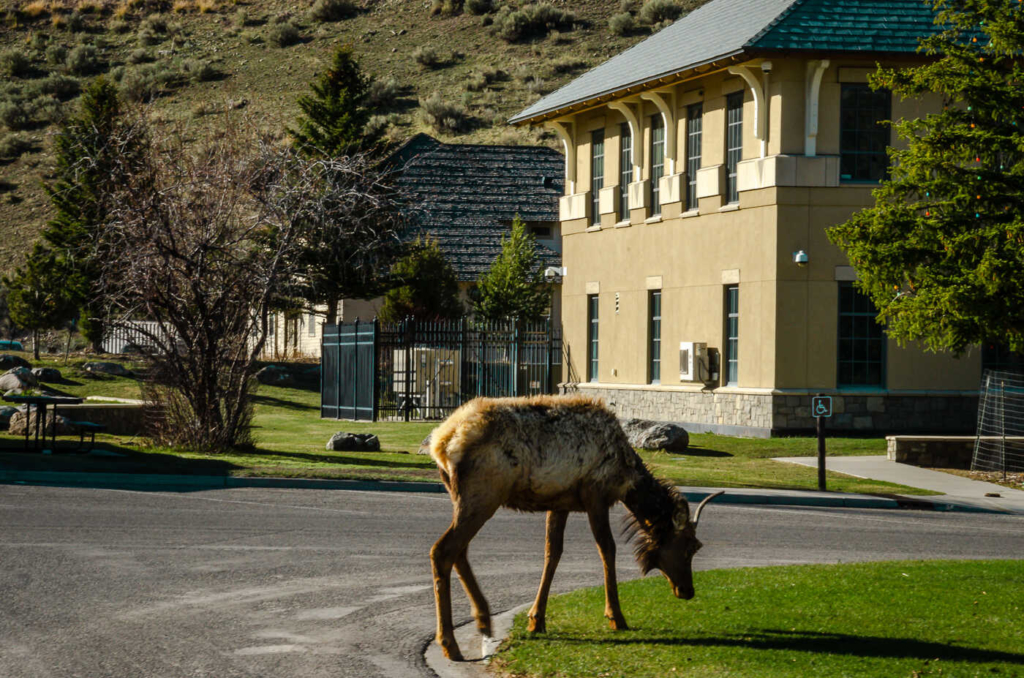 Young Moose by Albright Visitor Center