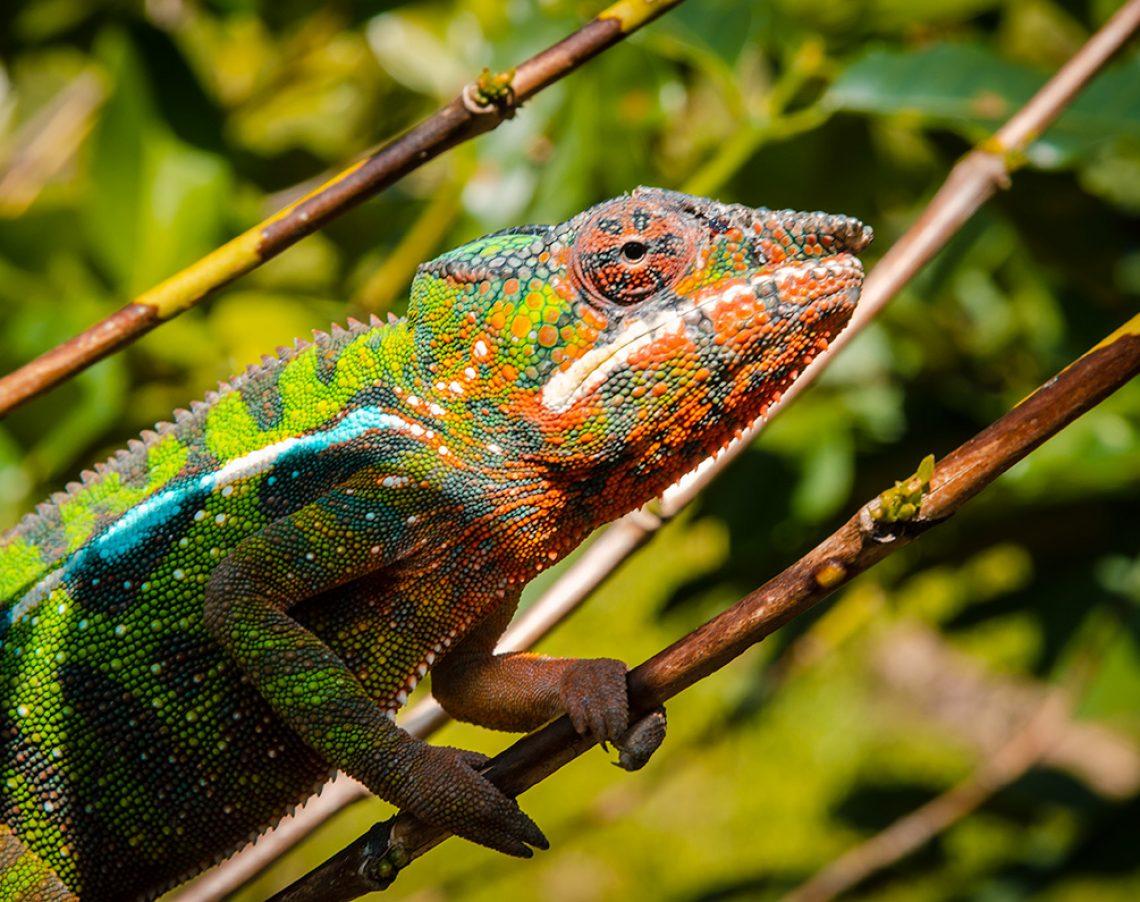 Chameleon picture 21